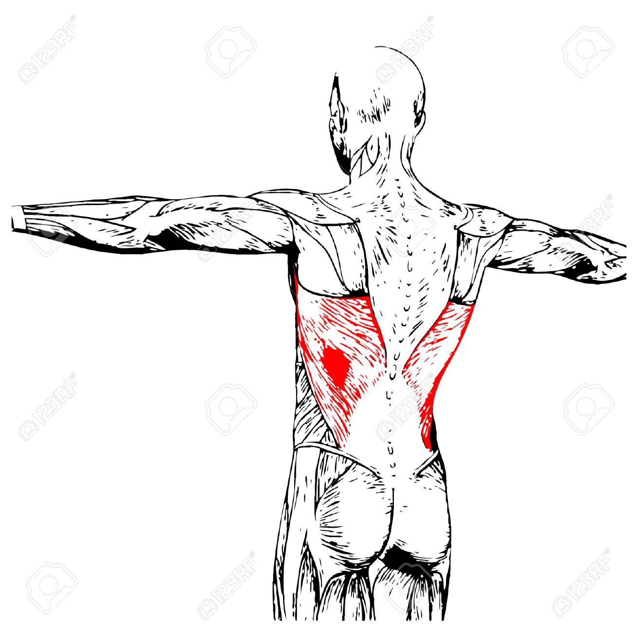 Concepto O Conceptual 3D Anatomía Back Humano O Anatómica Y Músculo ...