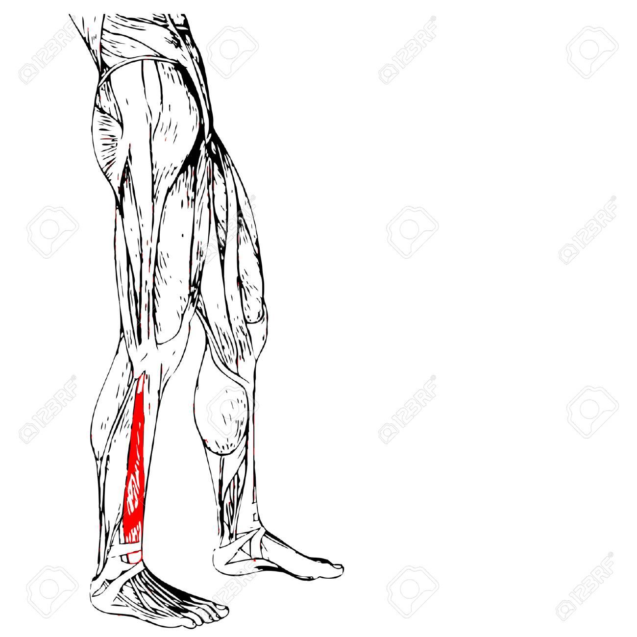 Concepto O Conceptual Humana 3D Anatomía Inferior De La Pierna O ...