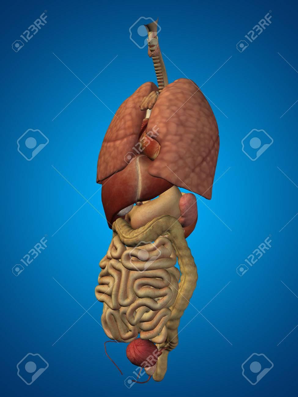 3D Menschen Oder Menschen Internen Bauch- Oder Thoraxorgane Für ...