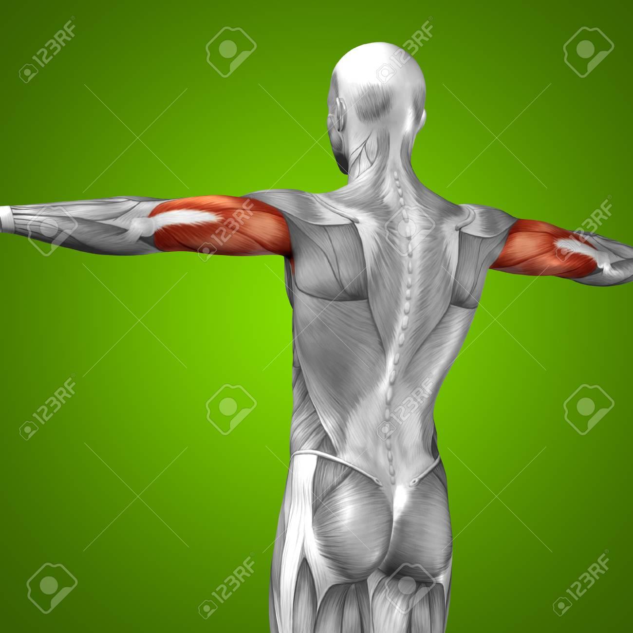 Conceptual 3D Trizeps Muskelanatomie Auf Grünem Hintergrund ...