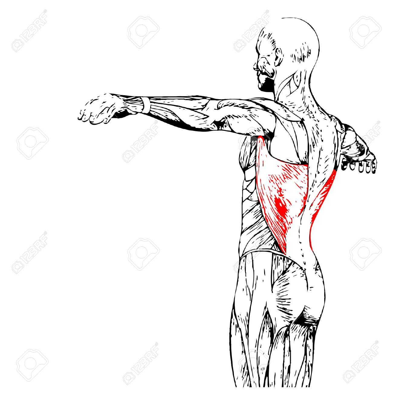 Groß Muskel Anatomie Zurück Bilder - Menschliche Anatomie Bilder ...