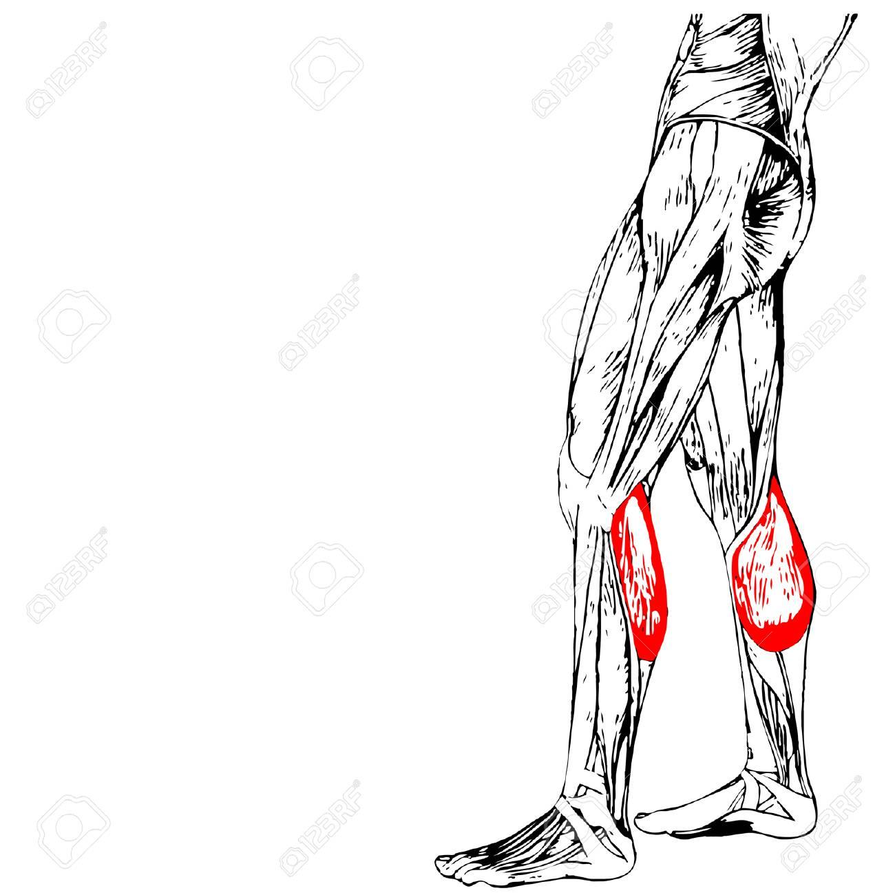 Concepto 3D Anatomía Humana Inferior De La Pierna O Anatómica Y ...