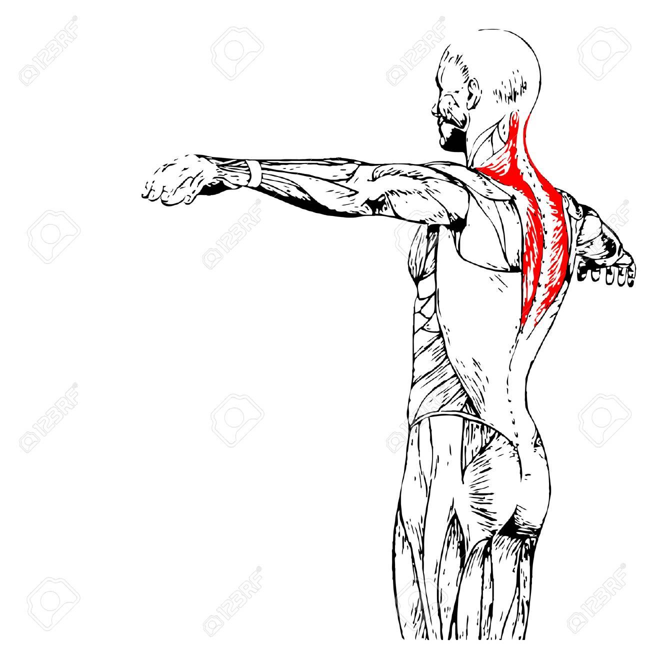 Vistoso Anatomía Back Humana Inspiración - Imágenes de Anatomía ...