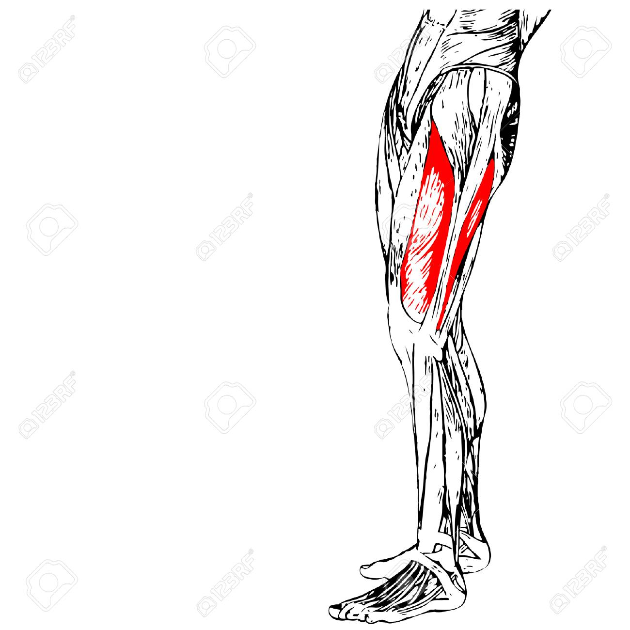 Concept 3D Human Upper Leg Anatomy Or Anatomical And Muscle Isolated ...