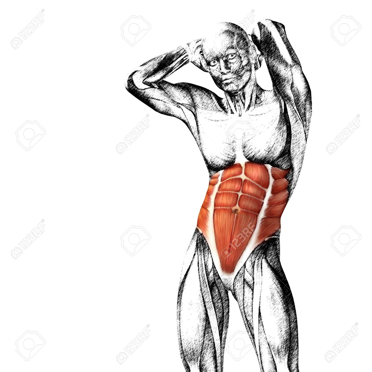 Conceptual 3D Anatomía Pecho Músculo Aislado Sobre Fondo Blanco ...