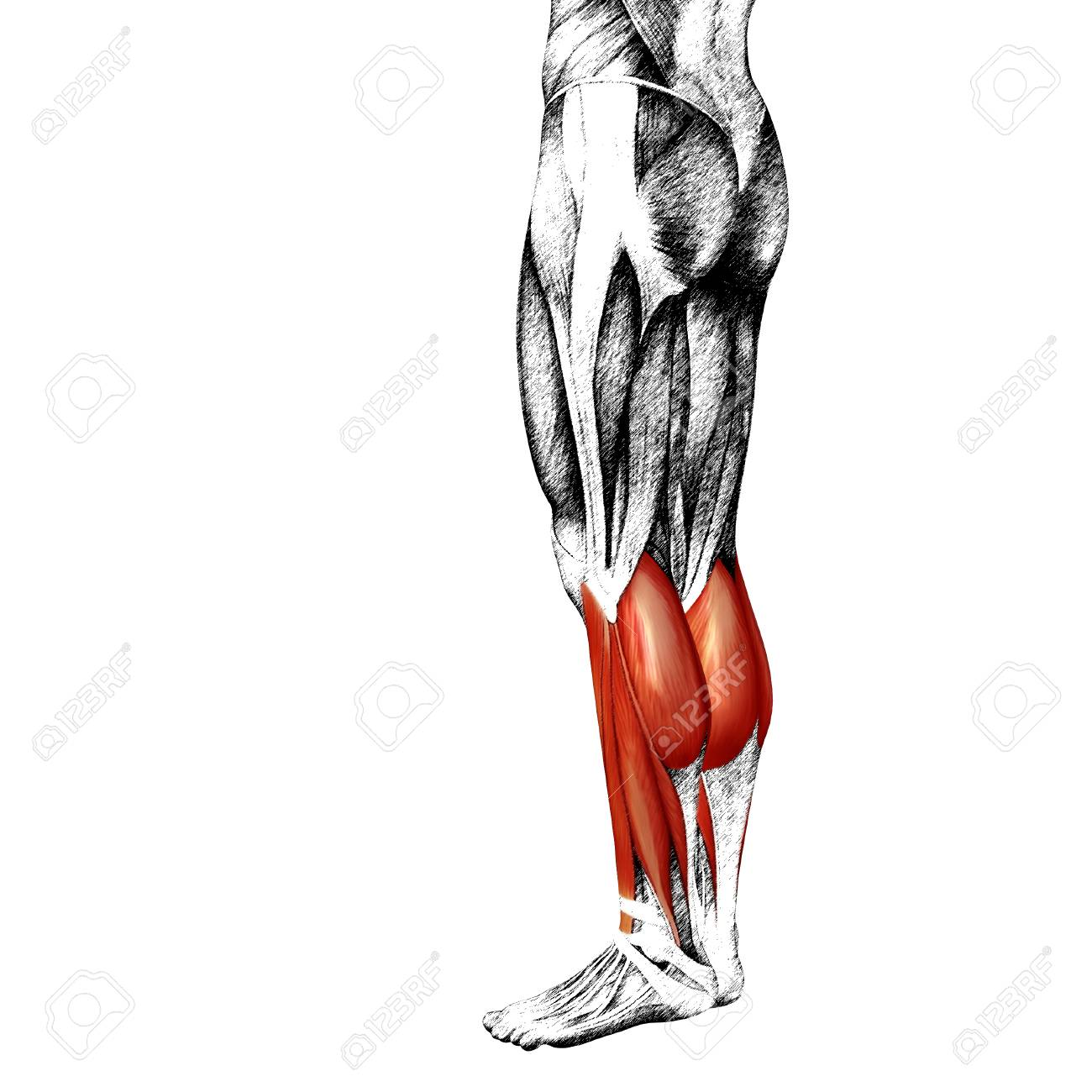 Encantador Pierna Humana Anatomía Muscular Modelo - Imágenes de ...