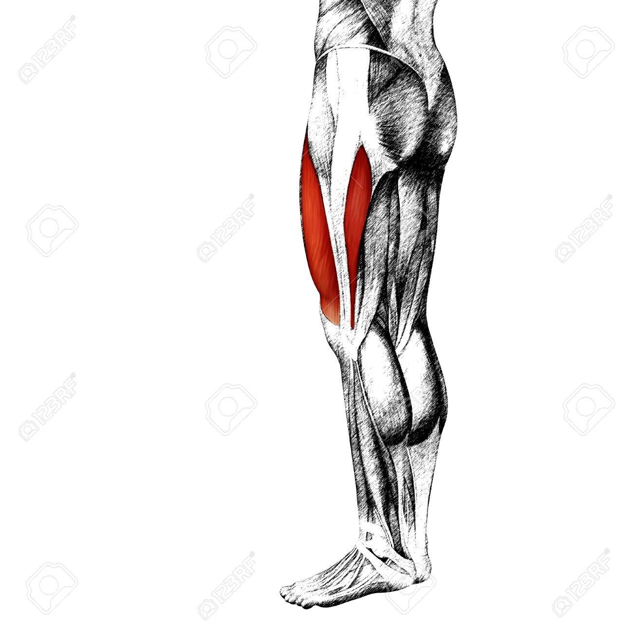 Contemporáneo Pierna Superior Anatomía Muscular Motivo - Imágenes de ...