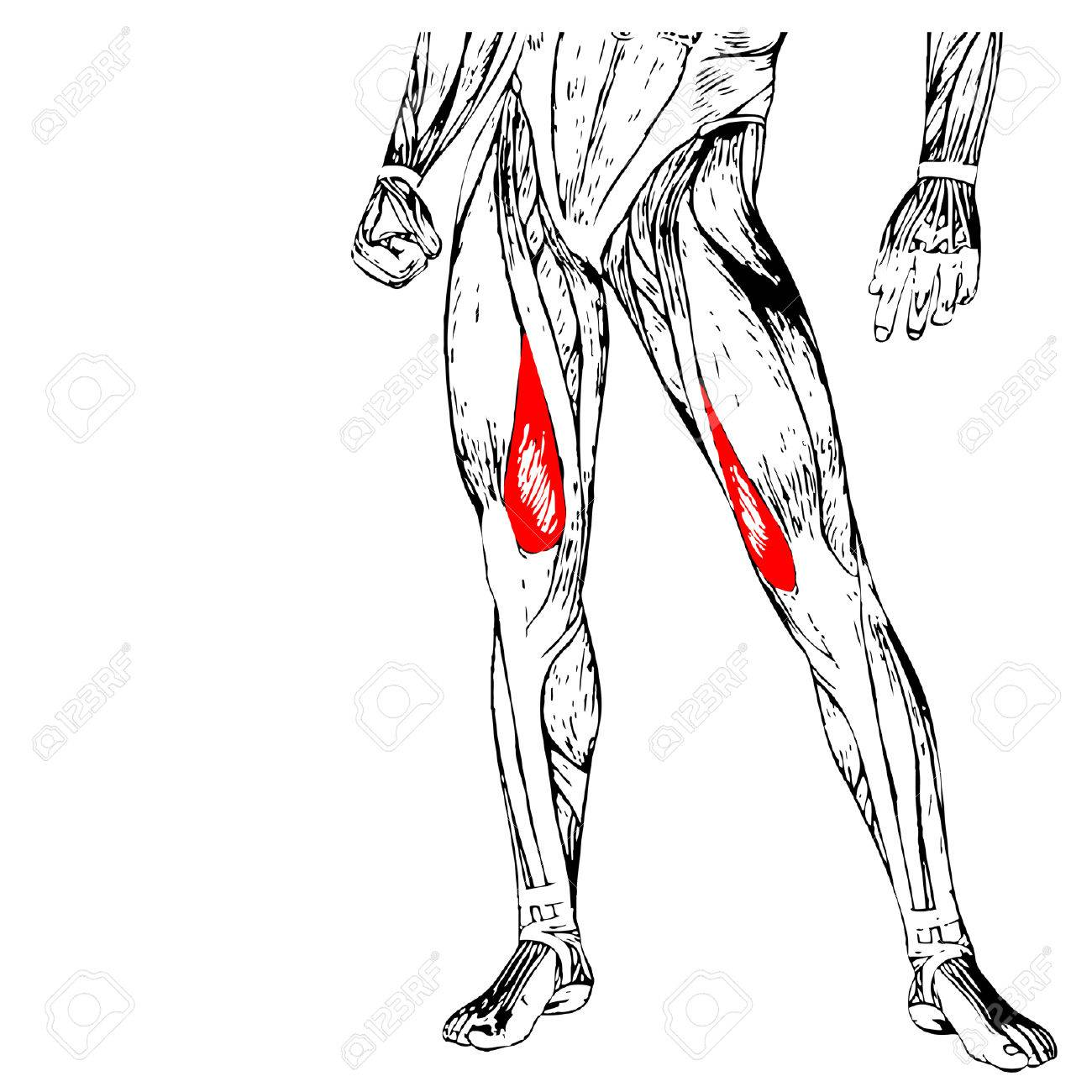 Concept Conceptual 3D Human Upper Leg Anatomy Or Anatomical Muscle ...