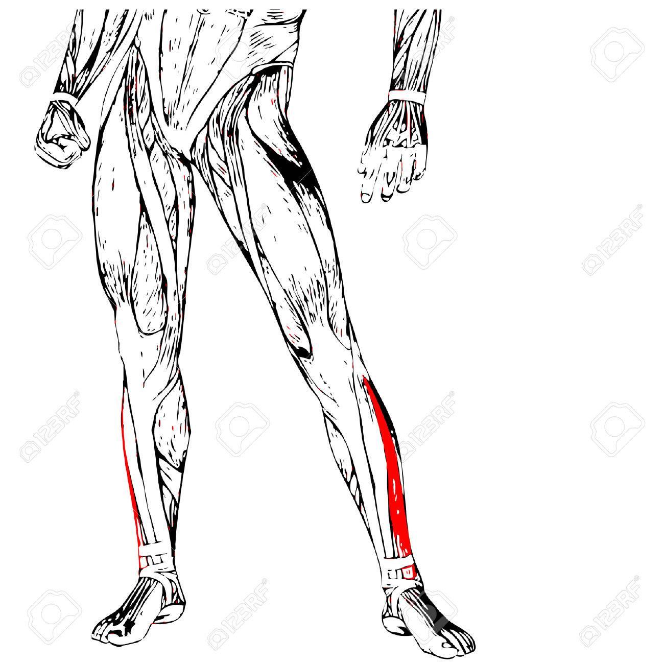 Concepto Conceptual Frontal Inferior Anatomía Humana En 3D Pierna O ...