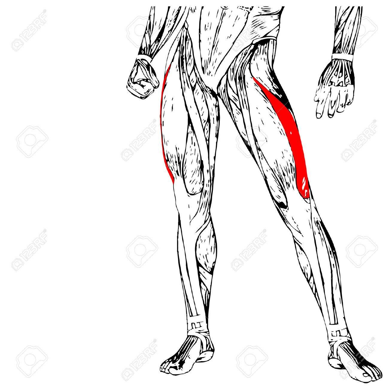 Concepto O Conceptual 3D Anatomía Humana Pierna Superior O Anatómica ...