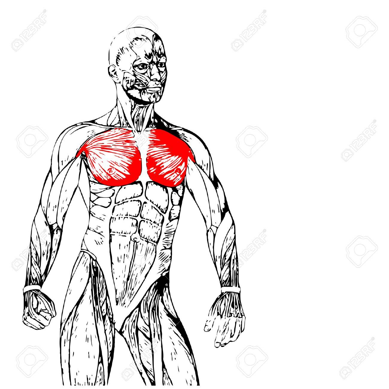 Concepto Conceptual 3D Pecho Anatomía Humana O Anatómica Y Músculo ...