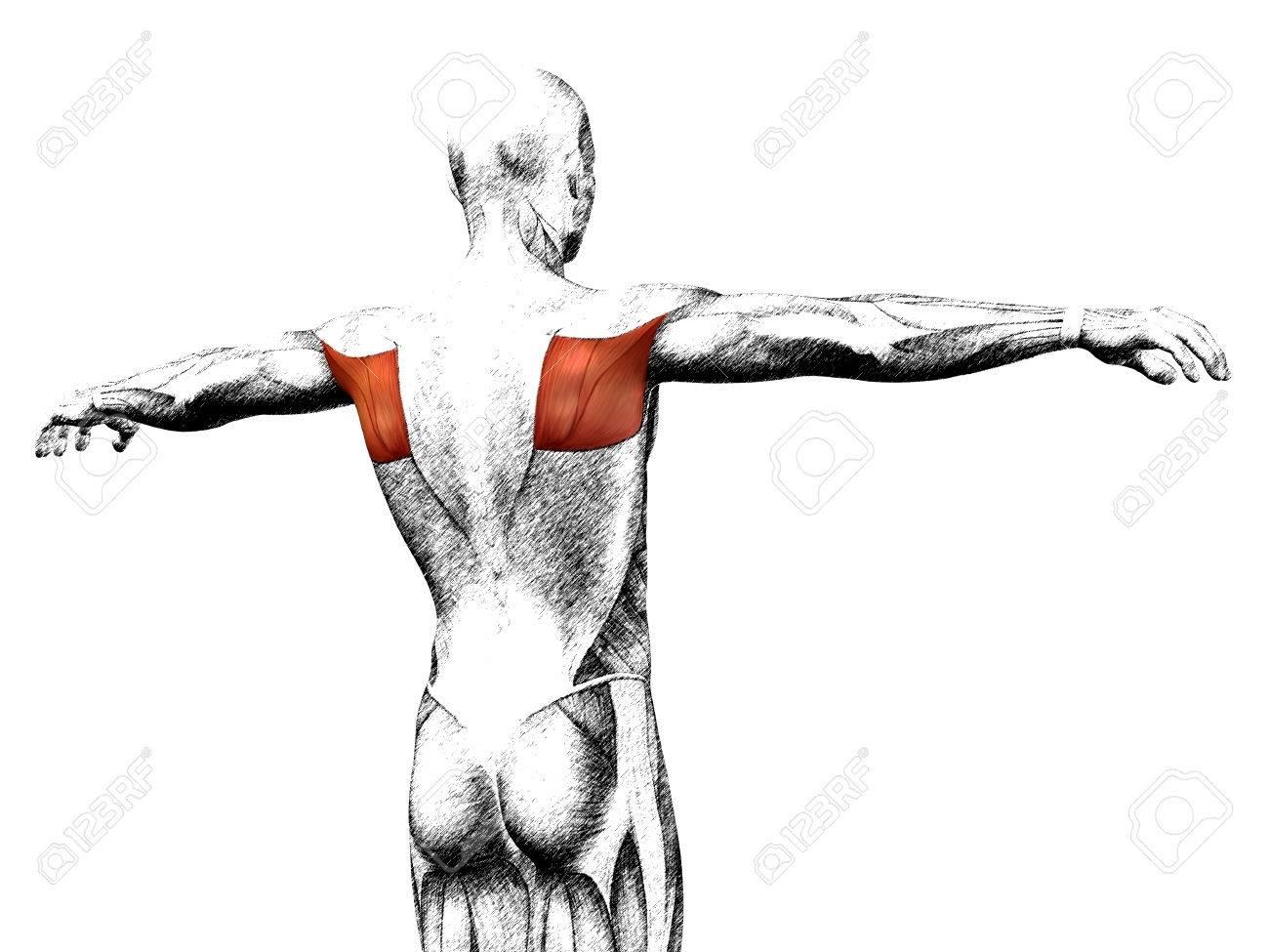 Großzügig Zurück Menschliche Anatomie Fotos - Menschliche Anatomie ...