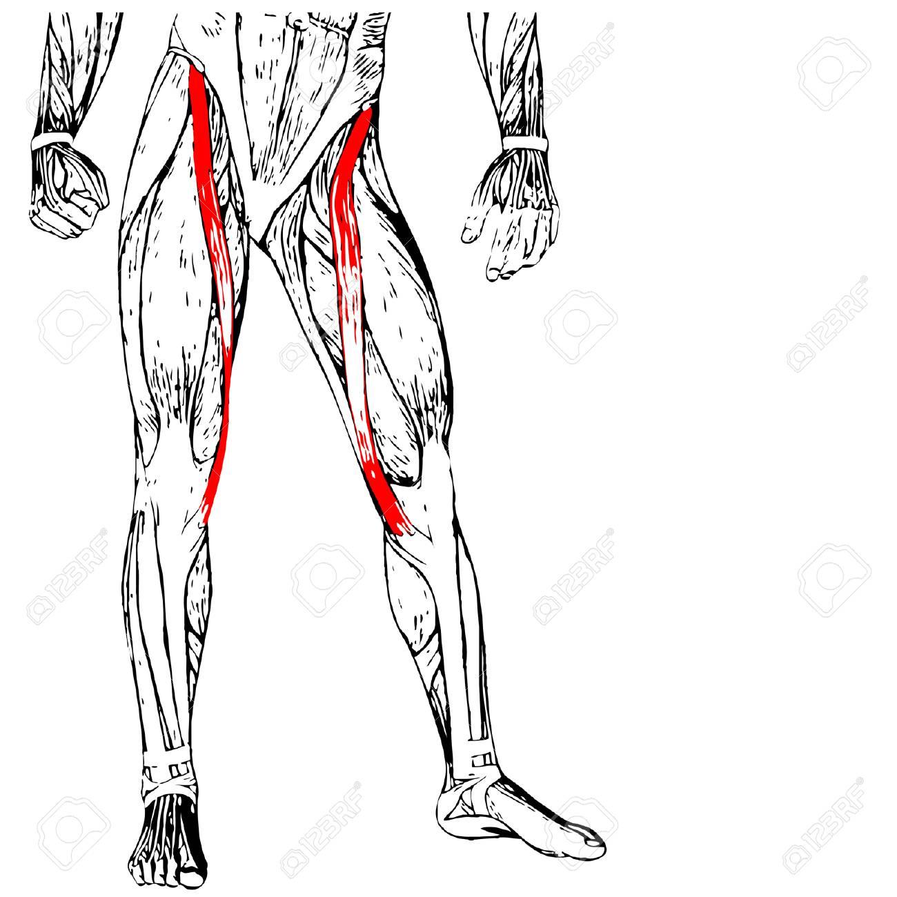 Conceptual 3D Sartorius, Leg Human Anatomy Or Anatomical Muscle ...
