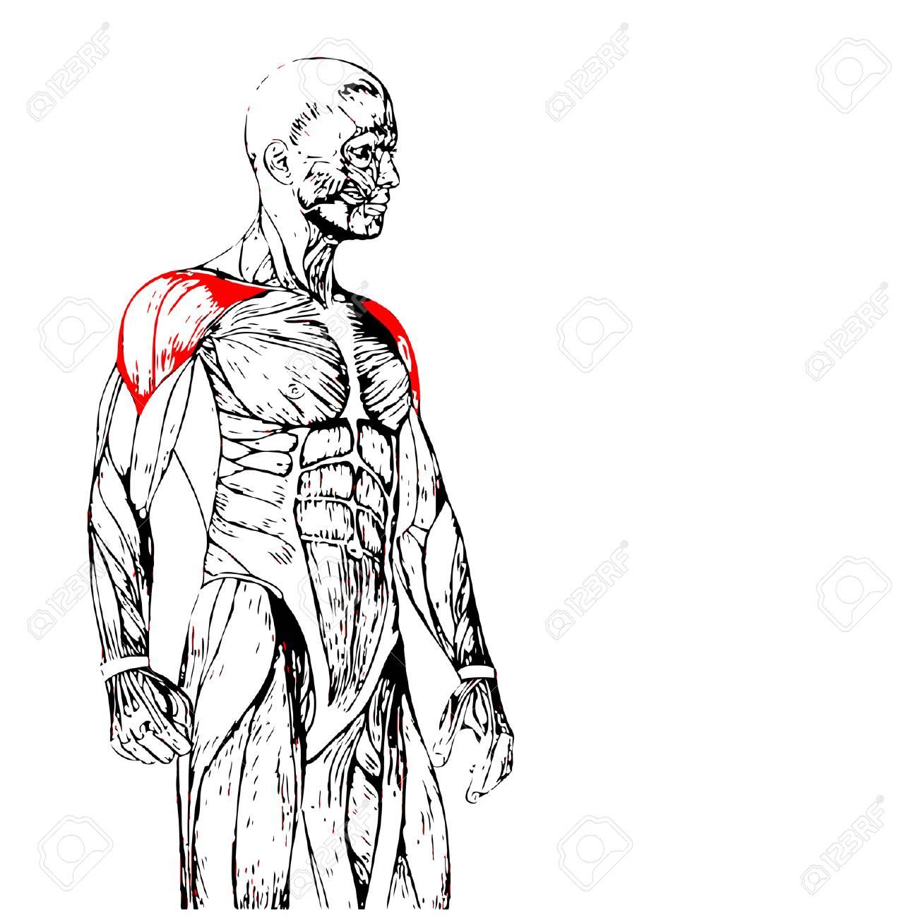 Concepto O Conceptual 3D Pecho Anatomía Humana O Anatómica Y Músculo ...