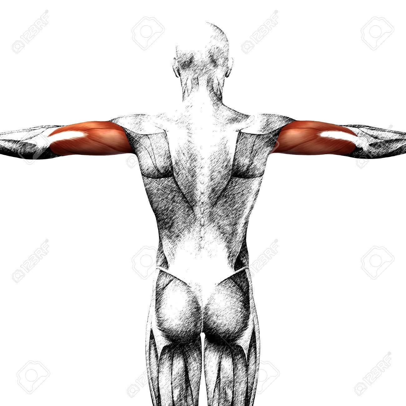 Schön Anatomie Des Trizepsmuskel Bilder - Anatomie Von Menschlichen ...