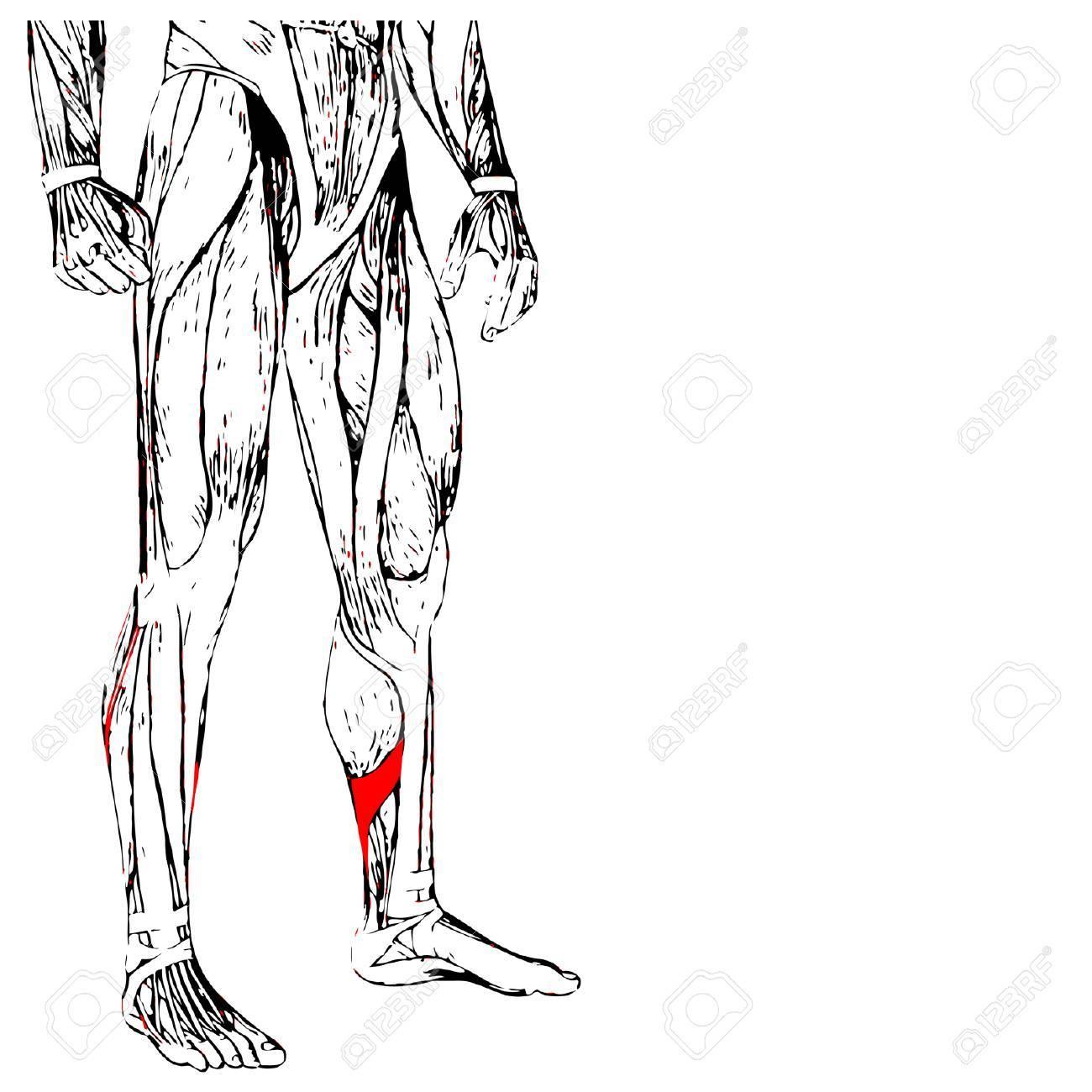 Onceptual 3D Anatomía Humana Inferior De La Pierna O Del Músculo ...