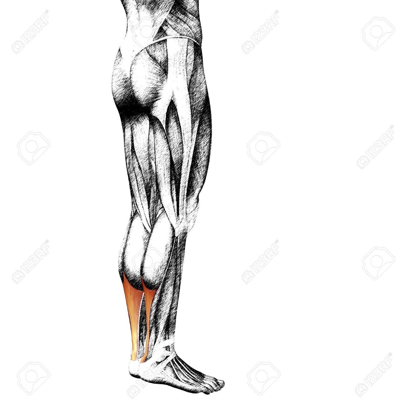 Conceptual 3D Frontal Inferior De La Pierna Humana Anatomía Muscular ...