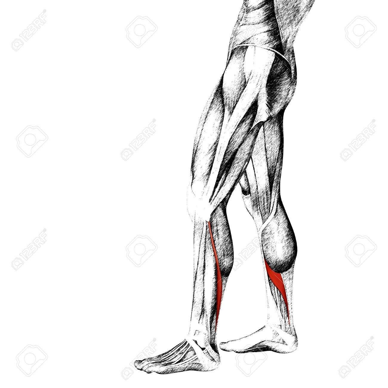 Vistoso Anatomía De La Pierna Fotos Regalo - Imágenes de Anatomía ...