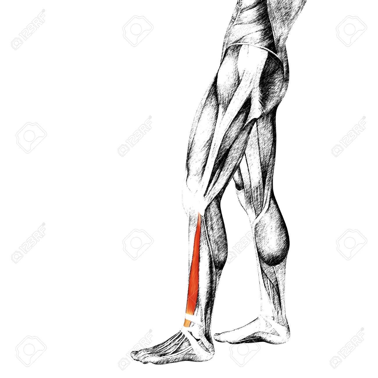 Perfecto Anatomía De Una Pierna Humana Viñeta - Imágenes de Anatomía ...