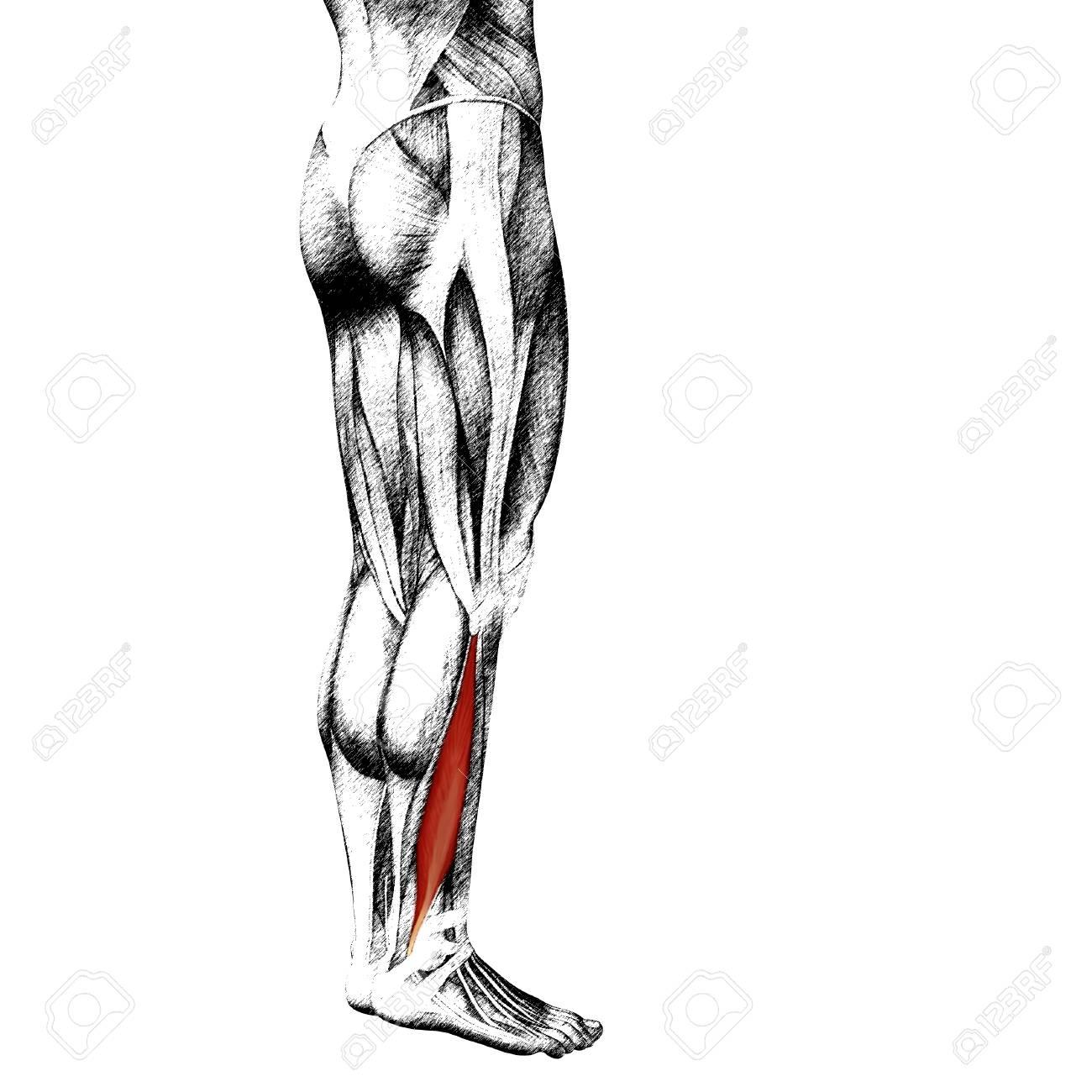 Asombroso Anatomía De La Nalga Ideas - Anatomía de Las Imágenesdel ...