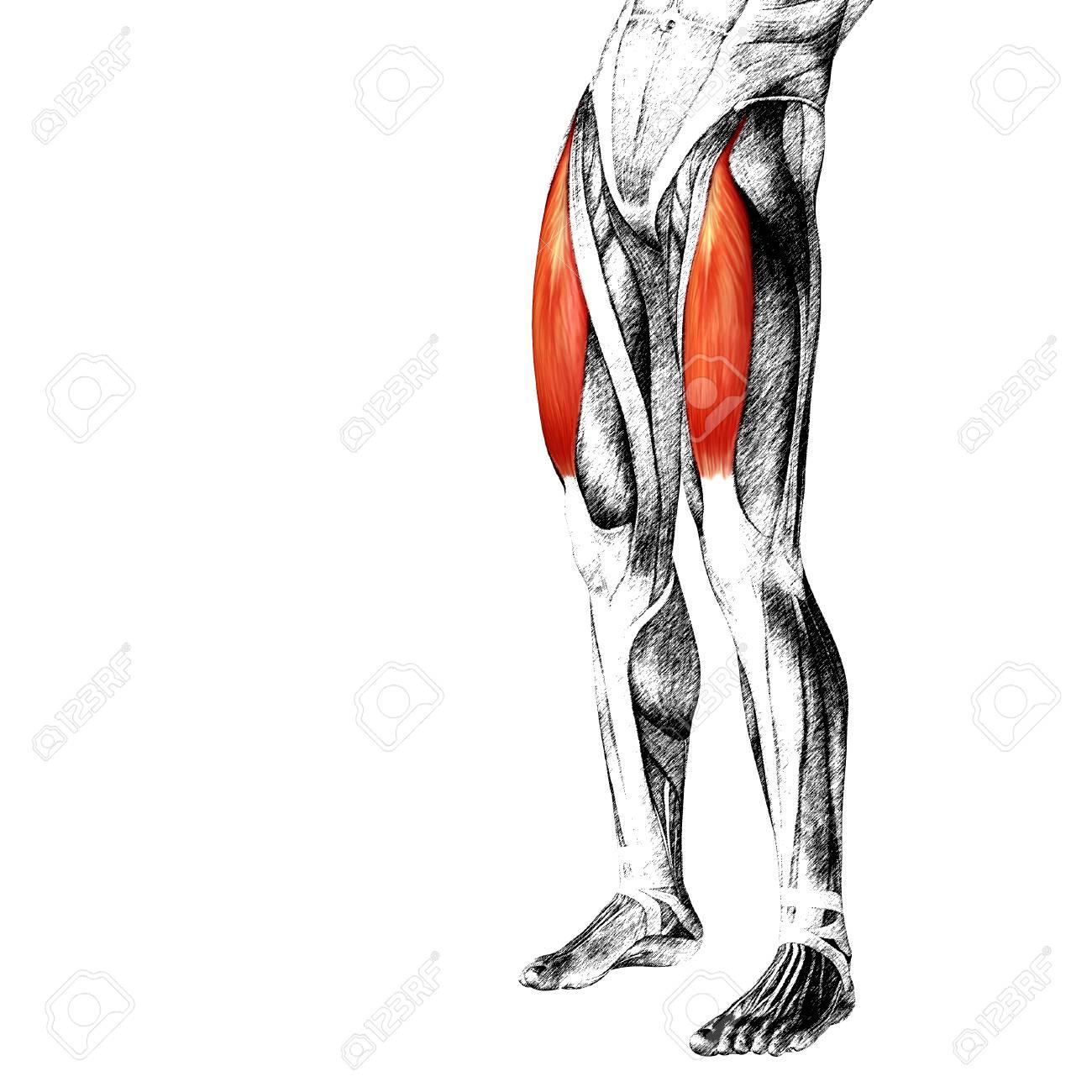Großartig Anatomie Der Oberschenkelmuskulatur Ideen - Anatomie Ideen ...