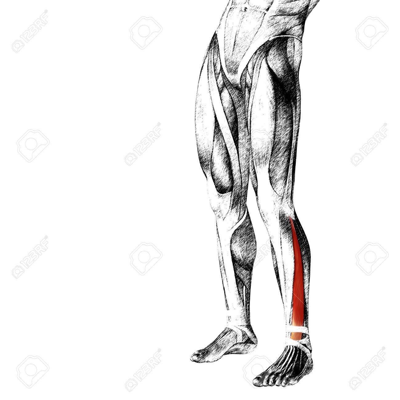 Fantastisch Vordere Schultermuskulatur Bilder - Menschliche Anatomie ...