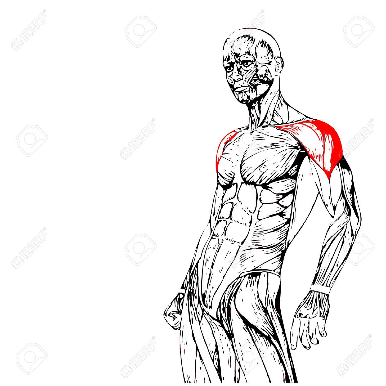 Vector Concepto Conceptual 3D Pecho Anatomía Humana O Músculo ...