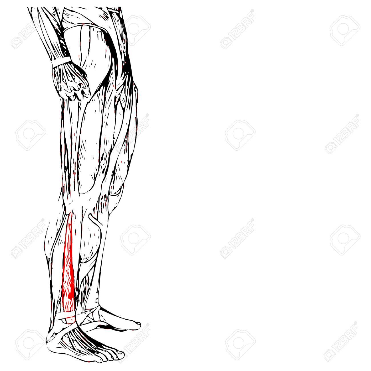 Concepto O Humano Conceptual 3D Anatomía Inferior De La Pierna O ...