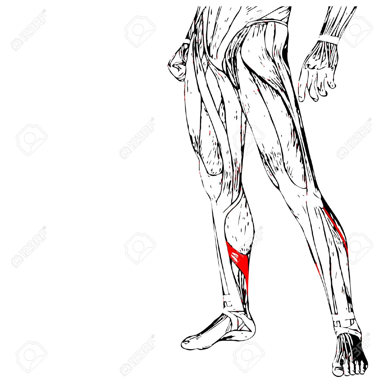 Concepto Del Vector 3D Anatomía Inferior De La Pierna Humana O ...