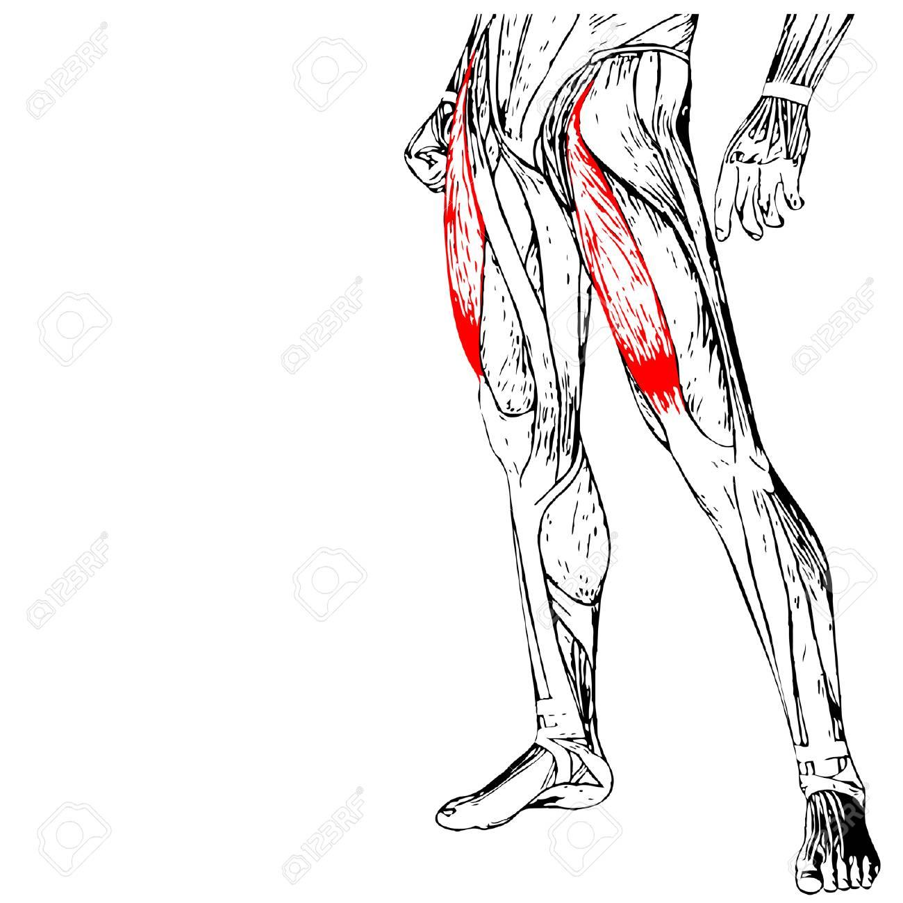 Concepto Del Vector 3D Anatomía Humana Superior De La Pierna O ...