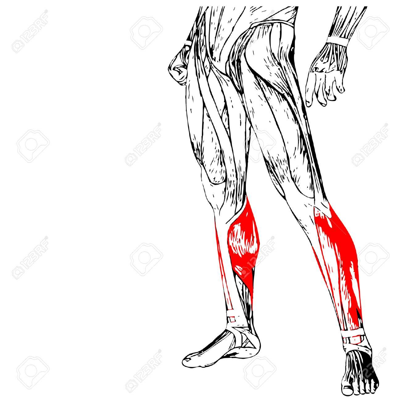 Atractivo Anatomía De La Pierna Músculos Galería - Anatomía de Las ...