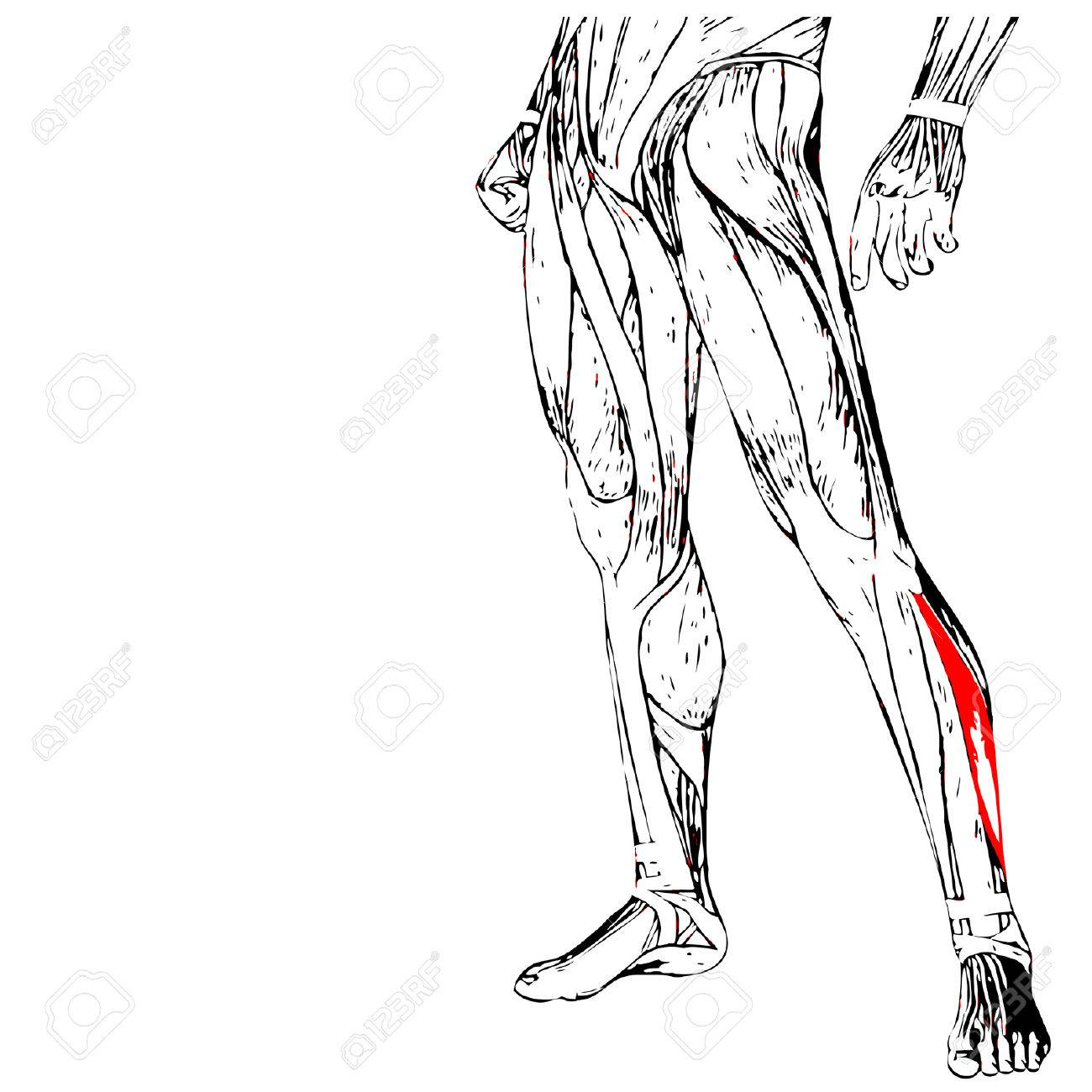 Vector Concept Or Conceptual 3D Human Lower Leg Anatomy Or ...