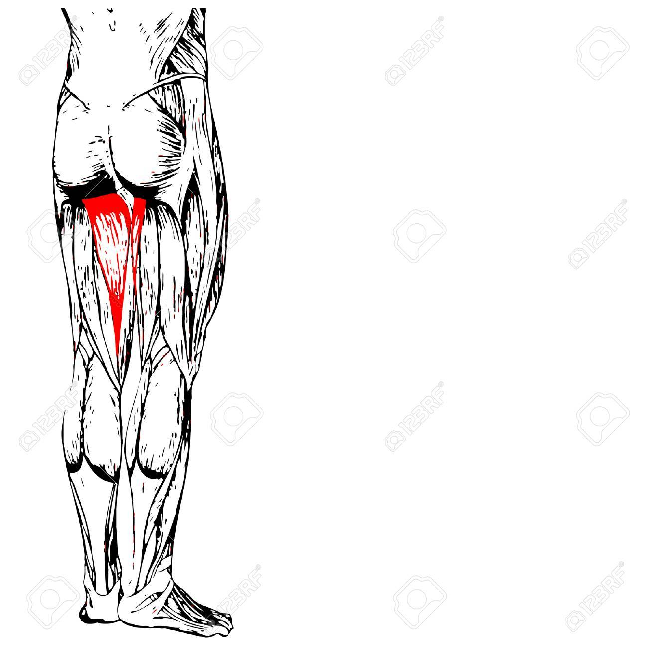 Conceptual 3D Anatomía Humana Superior De La Pierna O Anatómica Y ...