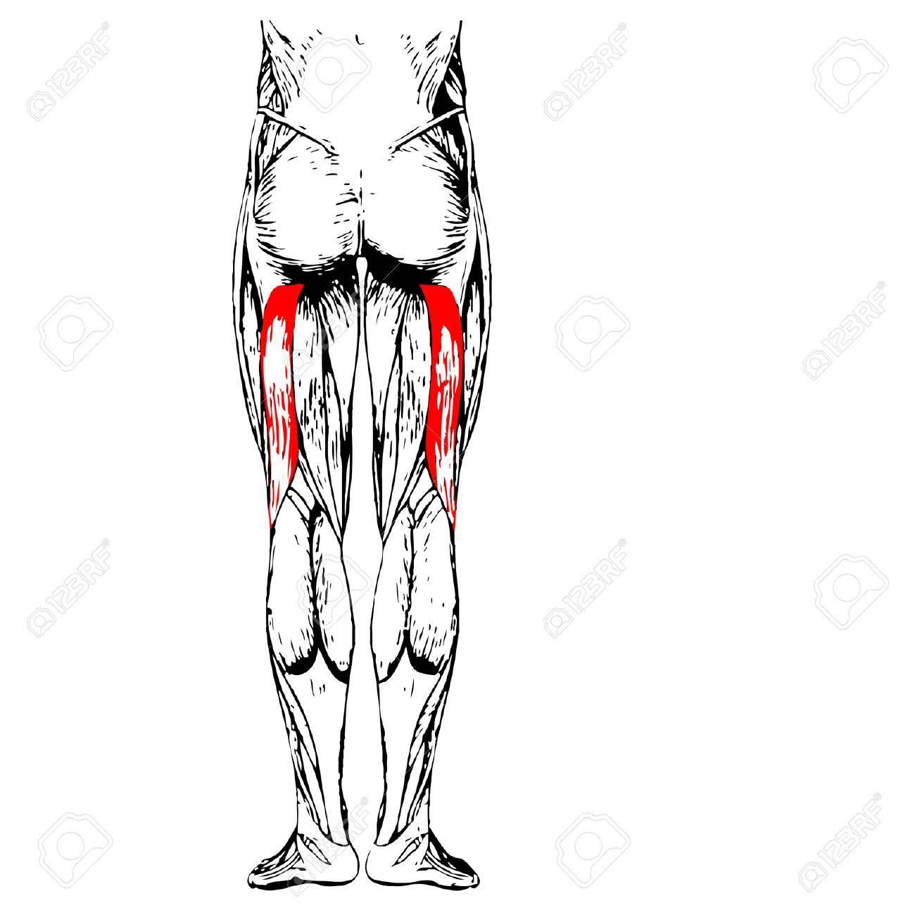Conceptual 3D Anatomía Humana Superior De La Pierna O Anatómica Y El ...