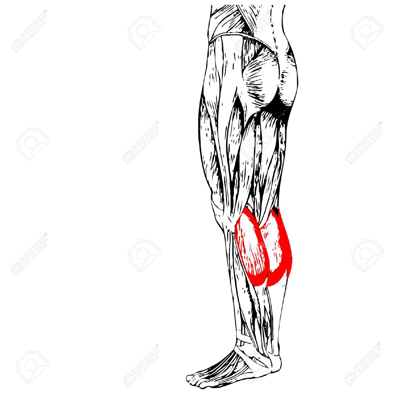 Inferior Vector De Concepto 3D Gastrocnemio La Anatomía Humana ...