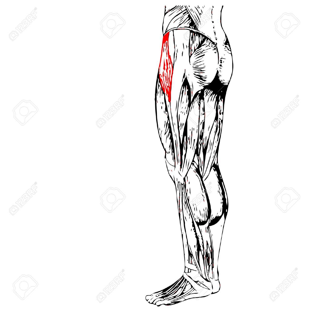 Fantástico Nalgas Músculos Anatomía Bandera - Anatomía de Las ...