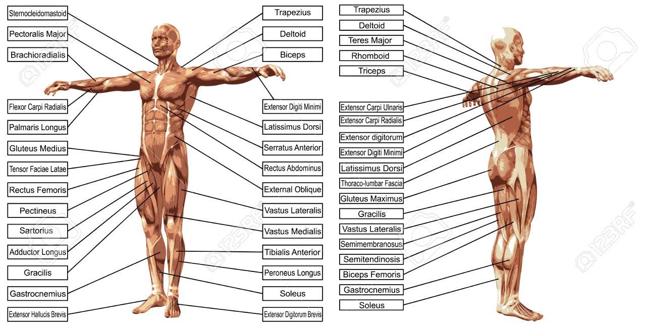 Erfreut Lenden Muskel Anatomie Ideen - Anatomie Von Menschlichen ...