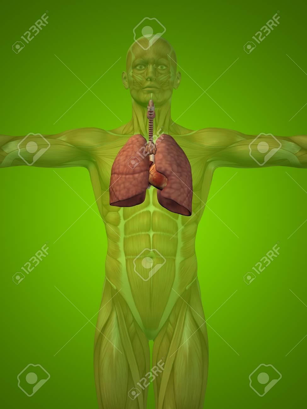 Konzeptionelle Anatomischen Menschlichen Oder Mann 3D-Atmungssystem ...