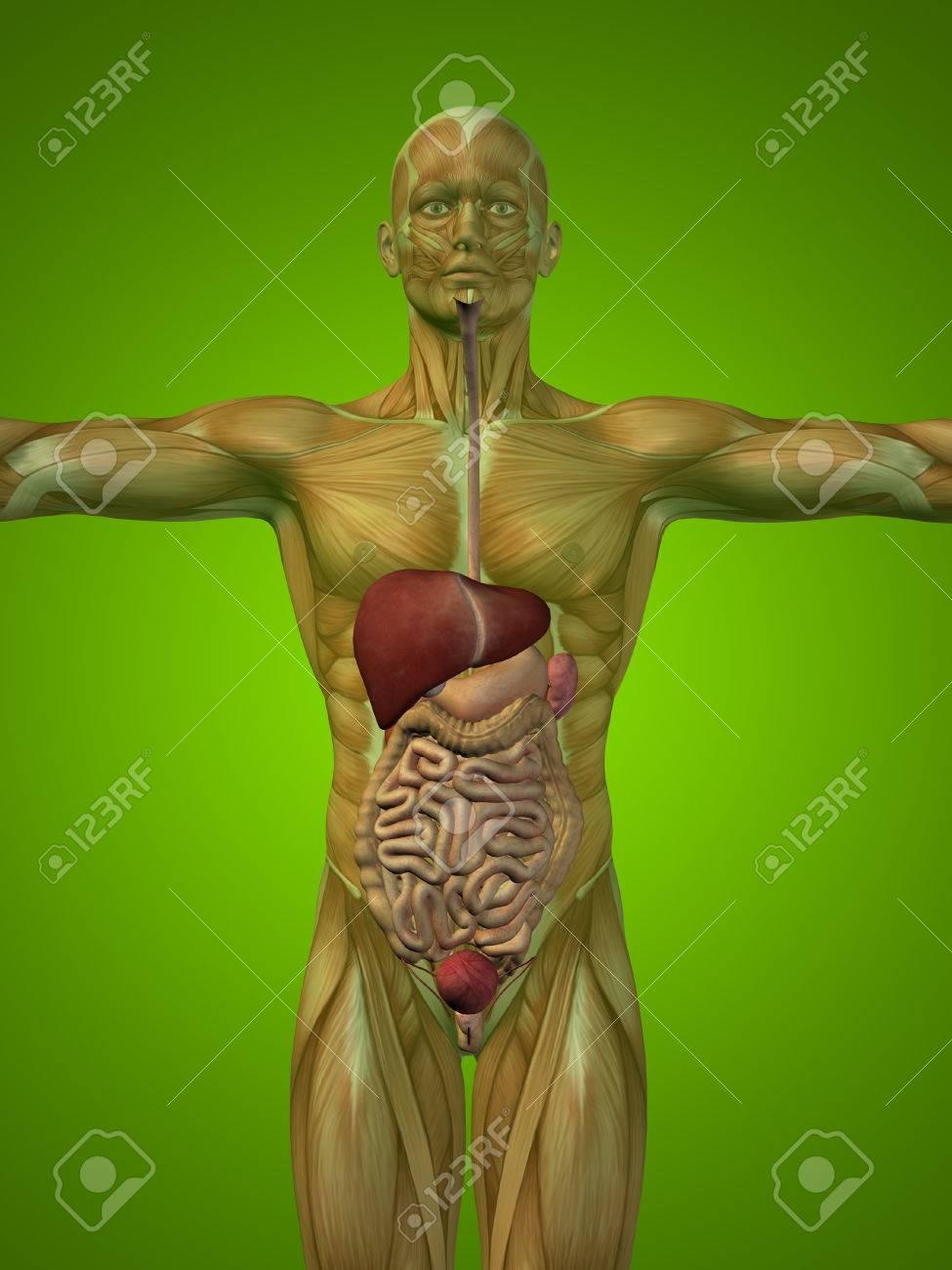 Konzeptionelle Anatomische Mensch Oder Mensch 3D Verdauungssystem ...