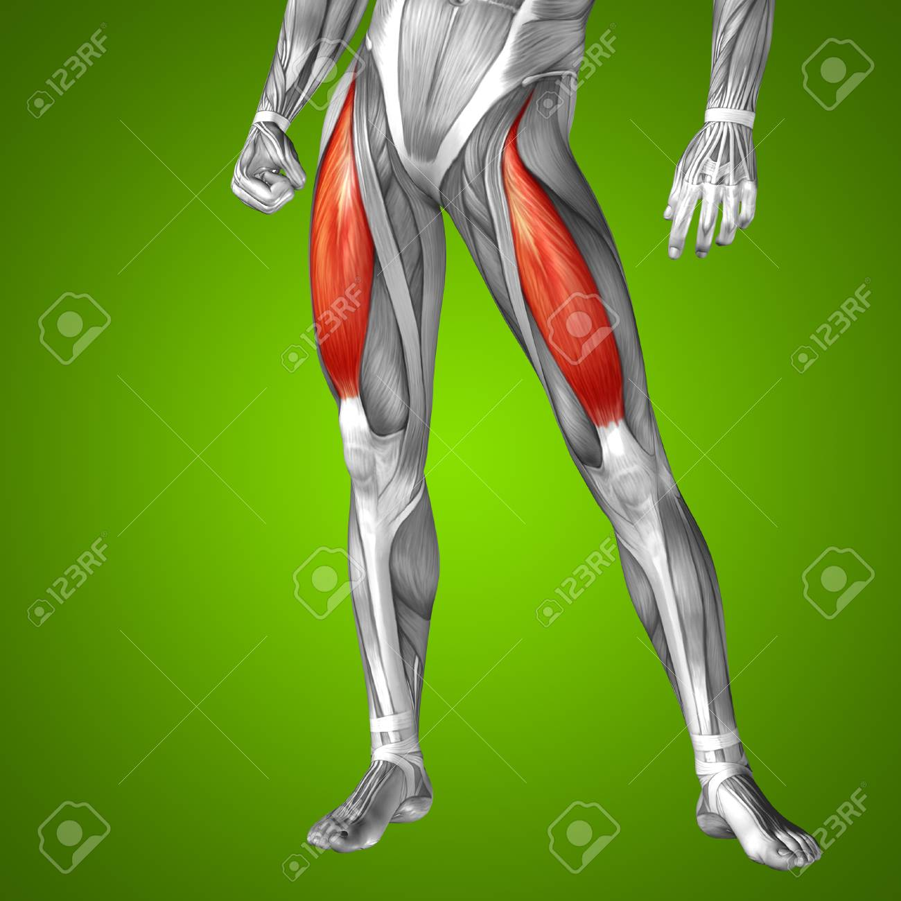 Conceptual 3D Adductor Longus Human Upper Leg Anatomy Or Anatomical ...