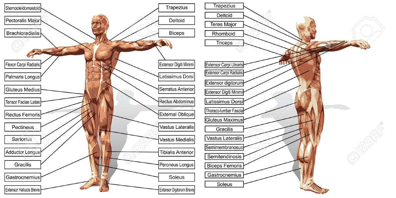 Mann 3D Muskelanatomie Mit Text Auf Weißem Hintergrund Isoliert ...