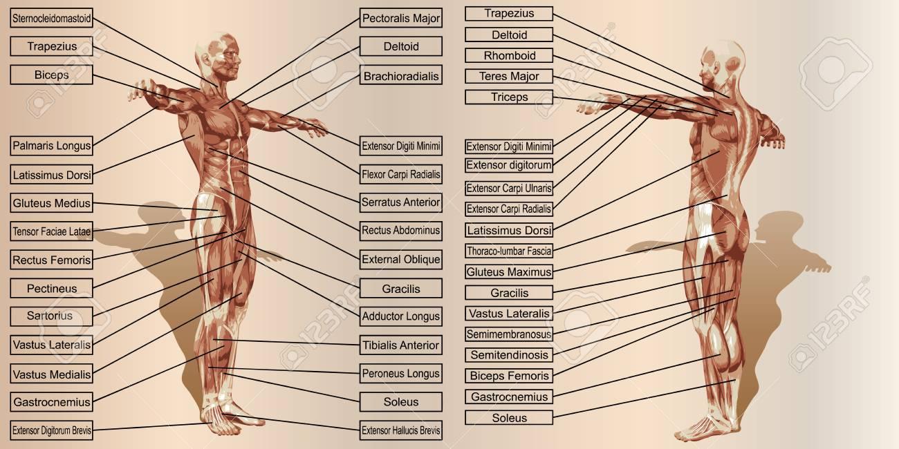 Anatomía Del Músculo Del Hombre 3D Con Texto Sobre Fondo Vintage ...