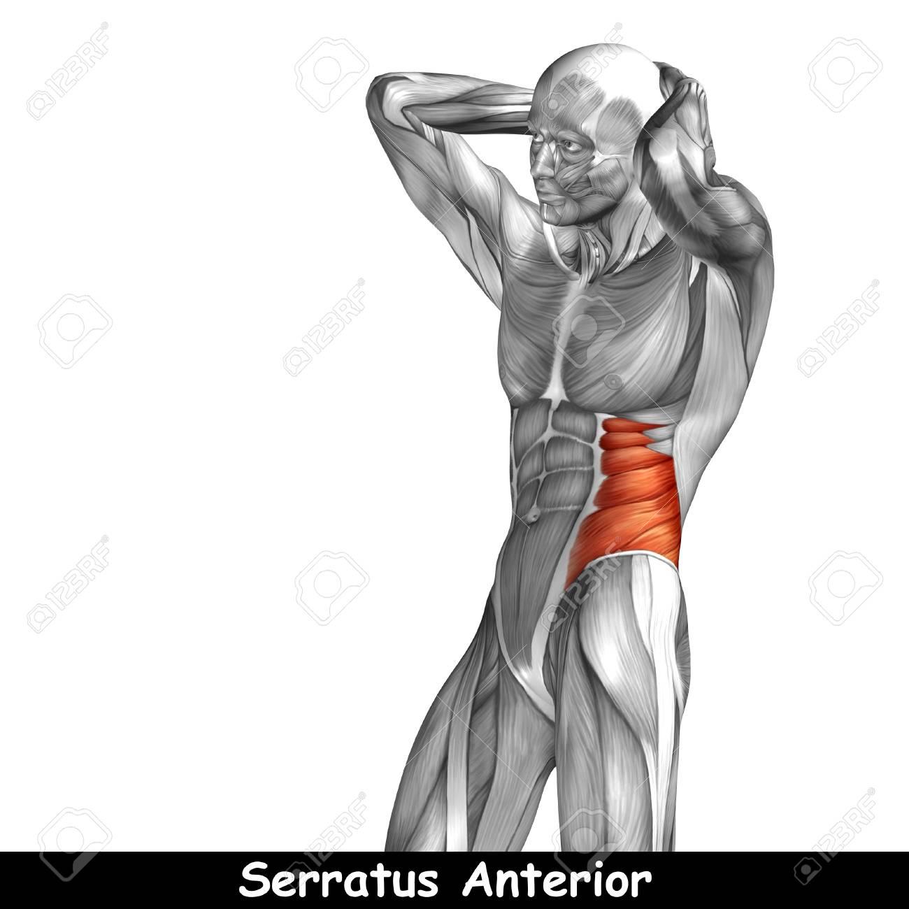 Wunderbar Muskel In Der Brust Zeitgenössisch - Menschliche Anatomie ...