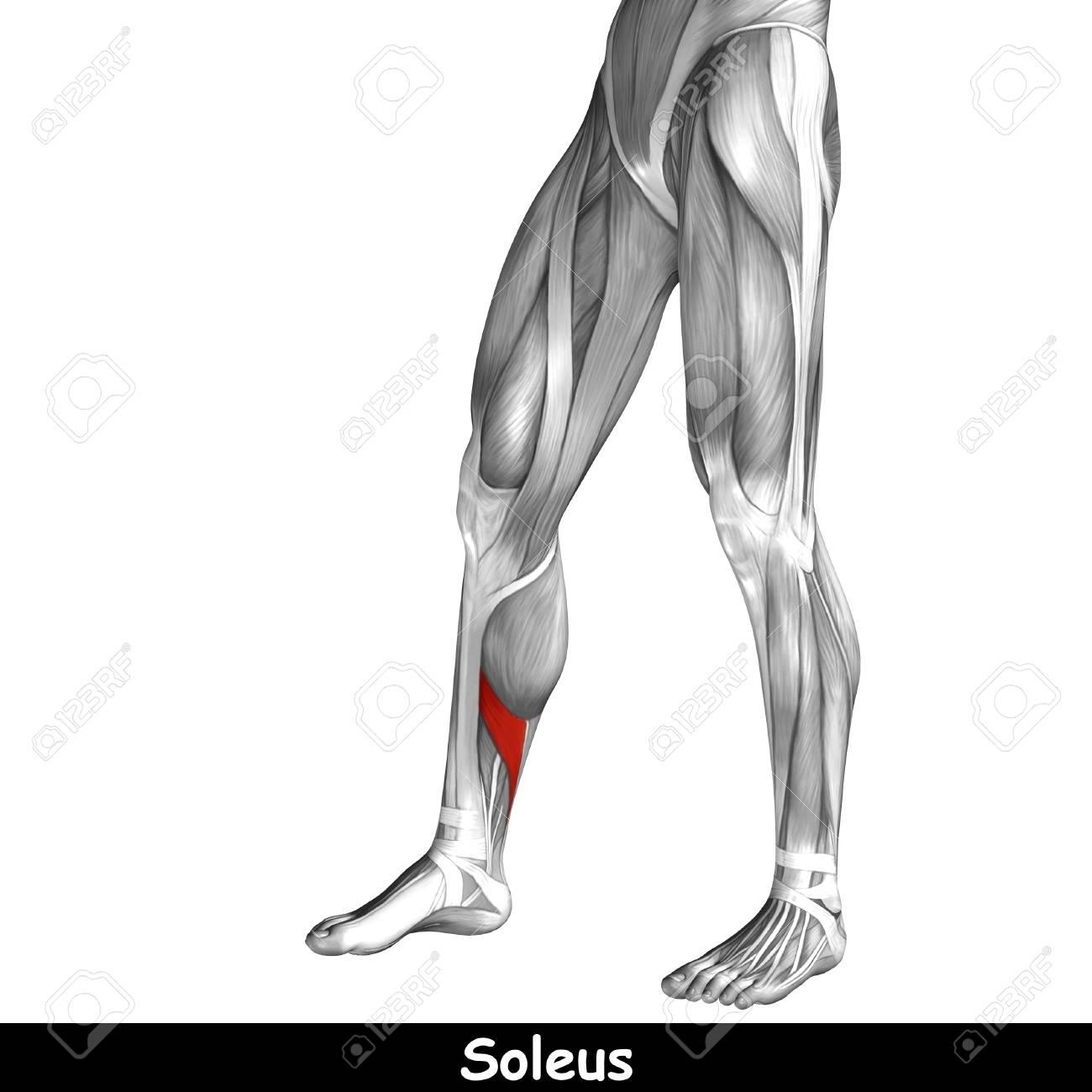 Increíble Anatomía Del Tendón De La Corva Festooning - Imágenes de ...