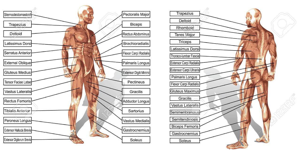 Vector Concept Or Conceptual 3d Human Anatomy And Muscle Text