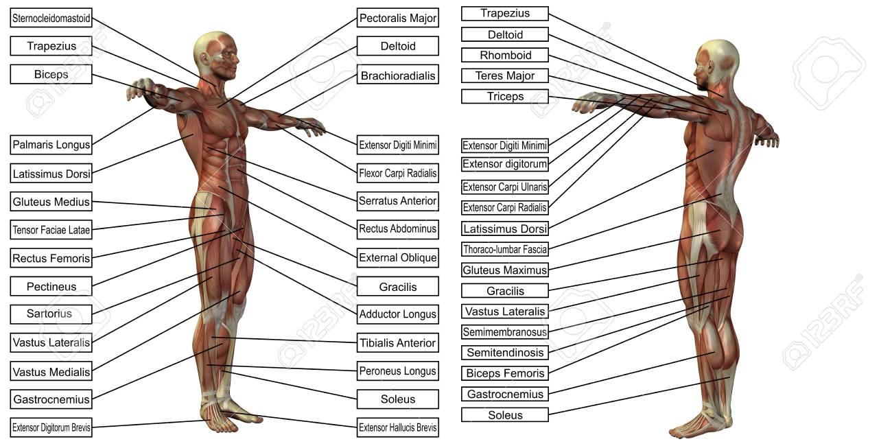 3D Mann Muskel Anatomie Mit Text Isoliert Auf Weißem Hintergrund ...