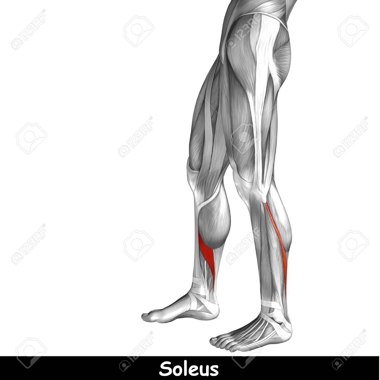 Konzeptionelle 3D Menschlichen Vorderen Unteren Anatomie Beinmuskel ...