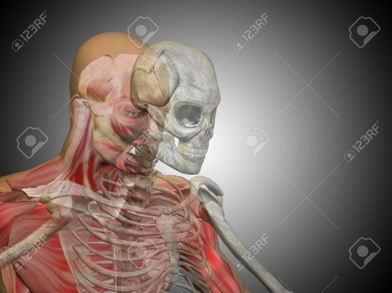 Conceptual Cuerpo Humano Anatomía Sobre Fondo Gris Fotos, Retratos ...