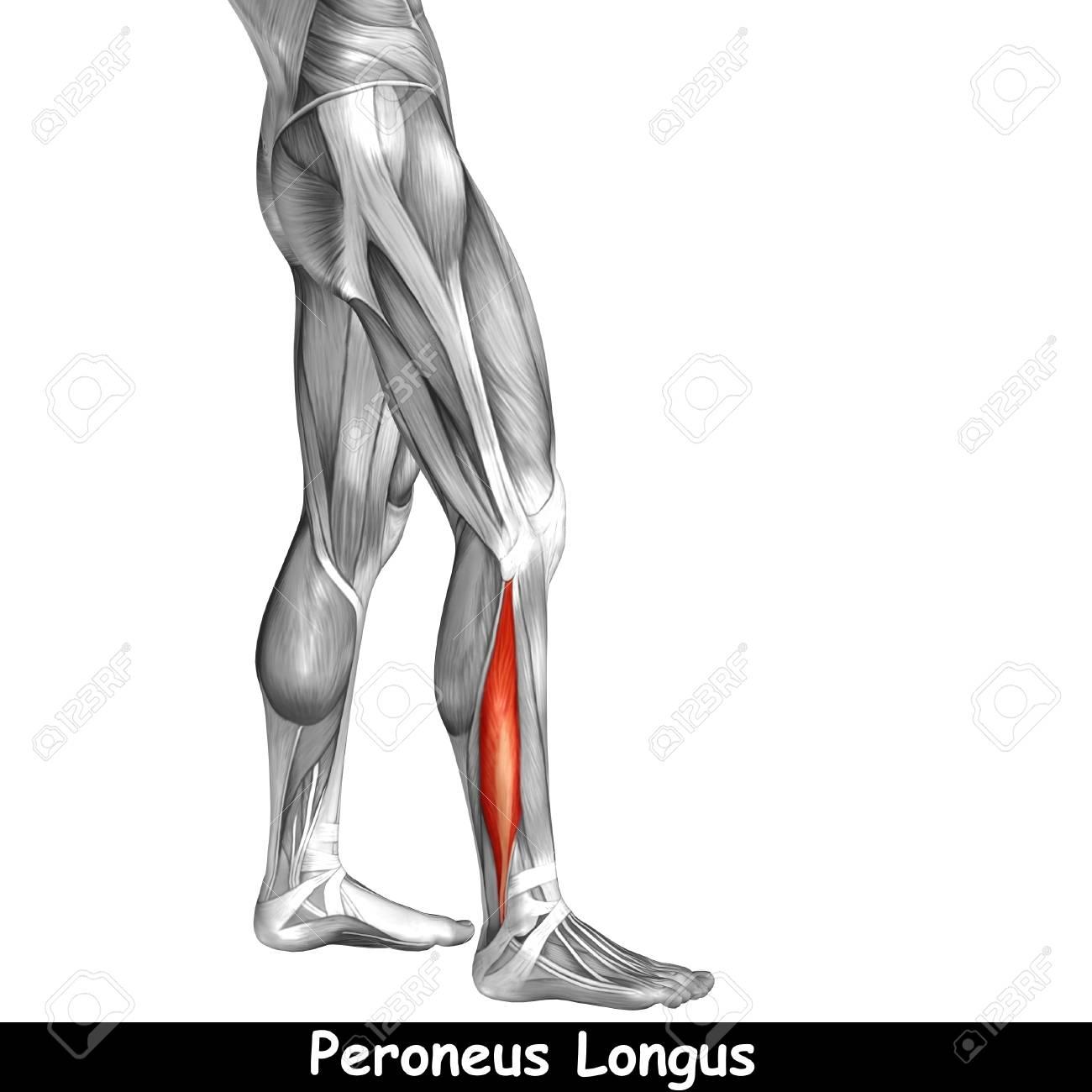 Konzeptionelle 3D Menschlichen Vorderen Unterschenkel Muskel ...