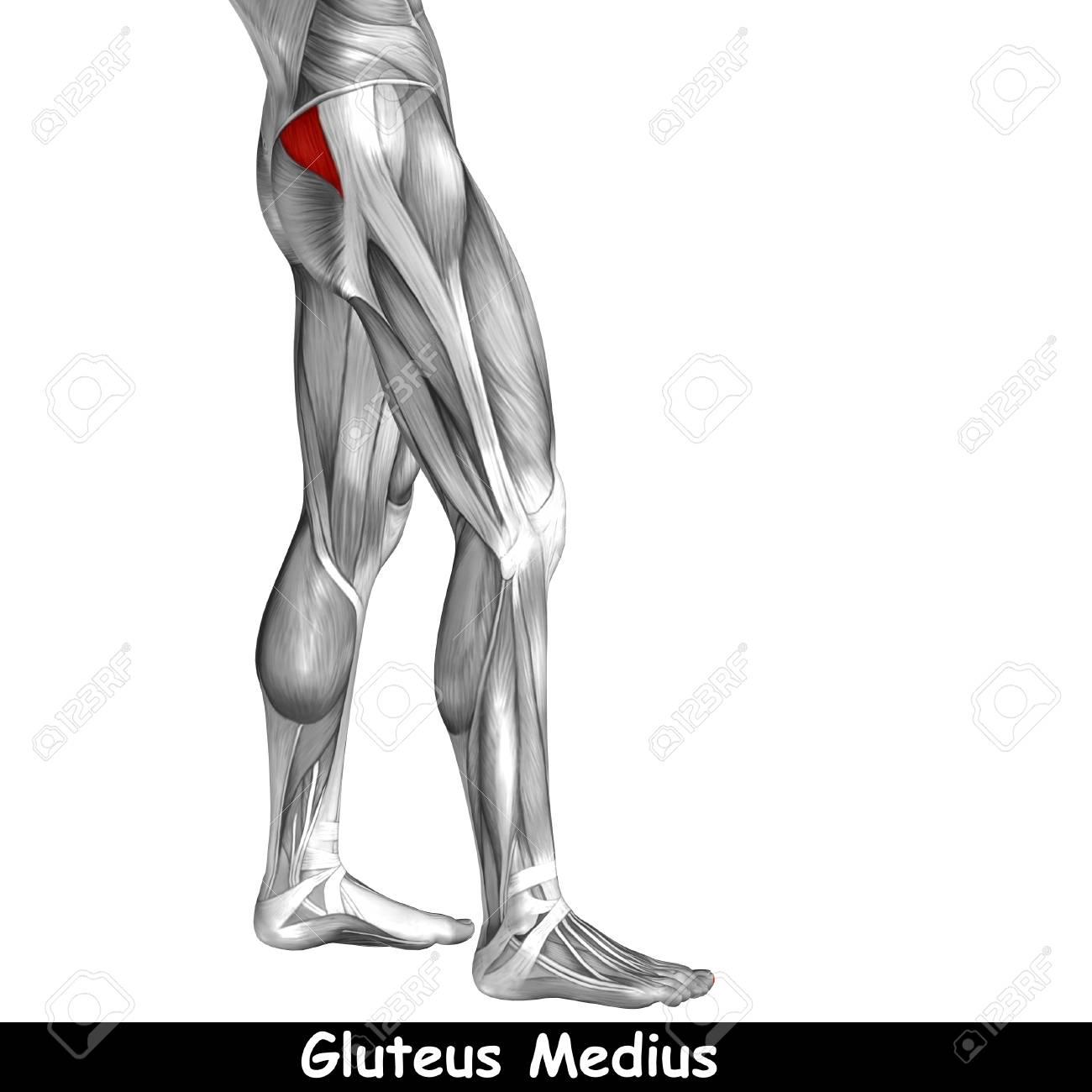 Konzeptionelle 3D Menschlichen Rücken Oberschenkel Muskel Anatomie ...